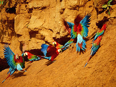 Amazon Rainforest, Peru. Red-and-Green Macaws at