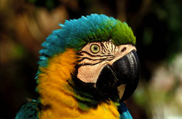 Blue-and-Gold Macaw, Heath River, Amazon Rainforest, Peru.